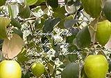 7 Seeds Ziziphus mauritiana Indian Jujube Tree Bonsai RARE Tropical Evergreen Bonsai