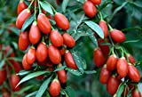 400 Goji Berry Wolfberry Seeds Ning Xia CHINESE BOXTHORN gojiberry Lycium Chinense Super Grade New Harvest Seeds