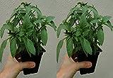 """BASIL THAI Live Plant - 2 Live Plants Fit 3.5"""" Pot"""