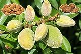 BITTER ALMOND (Prunus dulcis var. amara) 10 FRESH SEEDS
