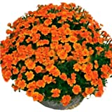 LuckyStore 50 Seeds French Marigold Orange Patula Tagetes Bloom Sparky Garden Flower Plant