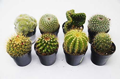 cactus variety pack all different species 2 5 pots live home