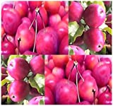 20 x Ranetka Apple - Malus x ranetka Tree Seeds - Bears Crab-apples - EXCELLENT BONSAI Specimen - VERY COLD HARDY To Zone 3 - By MySeeds.Co