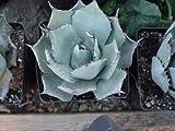 Agave Parryi Var. Truncata, Syn. Parry's Century Plant, Parry's Agave