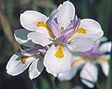 30+ African Iris Flower Seeds / Perennial / Butterfly Iris