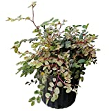 PlantVine Breynia disticha, Snow on The Mountain, Snowbush - Large - 8-10 Inch Pot (3 Gallon), Live Plant - 4 Pack