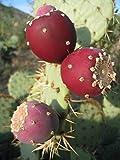 Opuntia Ficus Indica Nopal Edible Cactus Nopalea Juice Nopalina Seed 20 Seeds R