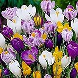 20 Jumbo Crocus Mixture Bulbs-- Fall planting!