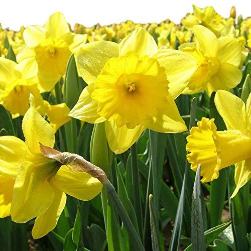 Dutch Master Daffodil 100 Bulbs -Deer & Rodent Resistant - 12/14 cm Bulbs