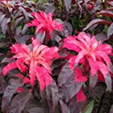 100 Tricolor EARLY SPLENDOR AMARANTHUS Hypochondricus Flower Seeds *Comb S/H