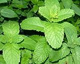 Mojito Mint - 4 Live Plants (mentha x villosa)