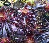 5 Starter Plants of Aeonium Arboreum Zwartkop