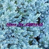 Hot selling 10pcs/lot Juniperus chinensis 'Blaauw' ,Sabina seeds Bonsai potted plant DIY home garden free shipping