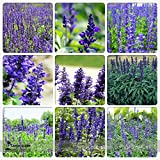 New Heirloom Victoria Salvia farinacea Sage Perennial Flower 30+ Seeds