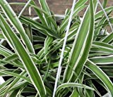 """Hirt's Reverse Variegated Spider Plant - Easy to Grow - Cleans The Air - 4"""" Pot"""
