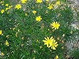 Live Euryops Viridis Plant Perennials Plant Fit 1 Gallon Pot