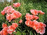 Godetia Dwarf Princess - 1000 Seeds - Organically Grown - NON-GMO