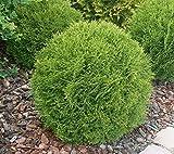 Little Giant Dwarf Globe Arborvitae ( Thuja ) - Live Plant - Trade Gallon Pot