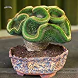 2018 Hot Sale Rare Perennial Bonsai Austrocylindropuntia Succulent Plant Seeds, Professional Pack, 10 Seeds/Pack, 100% True Variety #NF845