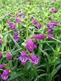 'Pike's Peak Purple' Bearded Tongue Perennial - Penstemon - One Quart Pot