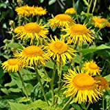 Elecampane Seeds (Inula helenium) 40+ Organic Heirloom Seeds in FROZEN SEED CAPSULES for the Gardener & Rare Seeds Collector - Plant Seeds Now or Save Seeds for Many Years