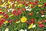 Icelandic Poppy Seeds (10 Pack)