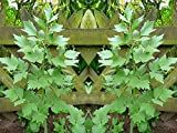 Lovage Herb Seeds for Microgreens, Gardening or Sprouting bin194 (100 Seeds)