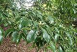 12 Seeds of Cornus capitata angustata, Evergreen Chinese Dogwood, Evergreen Dogwood