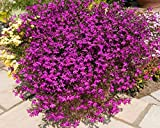 Lobelia erinus Rosamund Low Flower Seeds from Ukraine