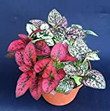 POLKA DOT PLANTS, HYPOESTES MIX COLORS, LIVE PLANTS SHIPPED IN THREE INCH POT!