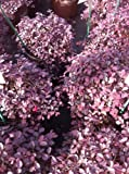 Purple Pixie Loropetalum (Loropetalum chinense)