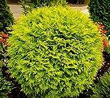 Golden Globe Dwarf Arborvitae (Thuja) - Live Plant - 3 Gallon Pot