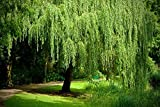 8 Weeping Willow Trees - Salix Babylonica - Beautiful Arching Canopy - Ready to Plant