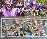 40 SAFFRON CROCUS Sativus SMALL SIZE Bulbs Fall BloomingGrow Your Own Safron