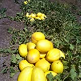 *VERY FRAGRANT* CANARY MELON* 20 seeds*RARE*showy #1029