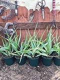 1 Rooted of Aloe arborescens Torch Aloe Succulent/Cactus