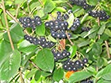 Black Chokeberry Shrub, Aronia melanocarpa, 50 Seeds (Edible, Fall Color, Hardy)