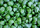 39g Lettuce Leaf BASIL Seeds ~23,000 Ct ~ Wholesale Package ~ HUGE Leaves Herb