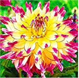 2bulbs true dahlia bulbs,flowers dahlia,(not dahlia seeds),National flower of Mexico,Flower symbolizes good luck for home garden