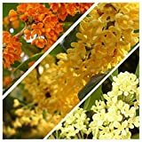 5 seeds of Osmanthus fragrans Sweet Olive Mix (one of the most fragrant tree)