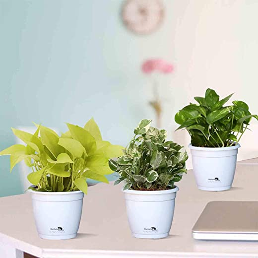 NURTURINGREEN Combo of 3 Air-Purifying plants(potted houseplants for Indoor décor) in Hermes Pots with compacta white (Money plant in white hermes pot)