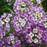 Sweet Alyssum Seeds (Dwarf) - Royal Carpet - Packet, Dwarf/Purple Flowers