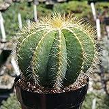 Notocactus Magnificus Parodia Magnifica Cactus Cacti Real Succulent Plant