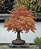 Staghorn Sumac 20 Seeds - Rhus typhina - Outdoors or Bonsai