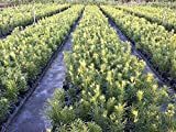 "Podocarpus Macrophyllus - 12 Live Plants - 4"" Pots Japanese Yew Live Plants Evergreen Privacy Hedge"