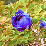 Seeds Shopp - Unique Chinese Blue Peony Seeds Balcony Potted Flowers Potted Plants Seed Paeonia suffruticosa Flower 120PCS New Arrival !
