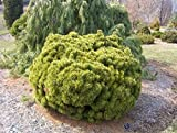 11 Year PLANT of Pinus Mugo Big Tuna