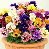 """Flower seeds Pansy, Giant Viola """"Terry Rococo MIX""""(Viola x Wittrockiana) Violet."""