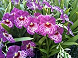 Think Pink! Miltoniopsis Morris Chestnut 'H171' orchid, in spike