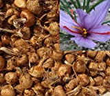 PRE-Order 2019 Saffron Bulbs 16 Pcs - Get Beautifull Flowers and Your Own Spice (Dispatch in June from Our Organic Garden) Crocus Sativus Corms